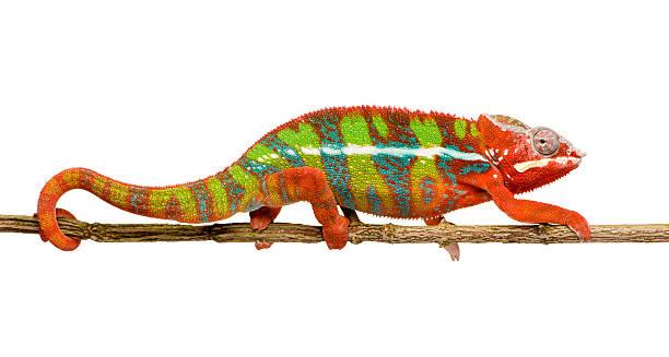 표범카멜레온 furcifer pardalis-ambilobe (18 개월 - 파충류 뉴스 사진 이미지