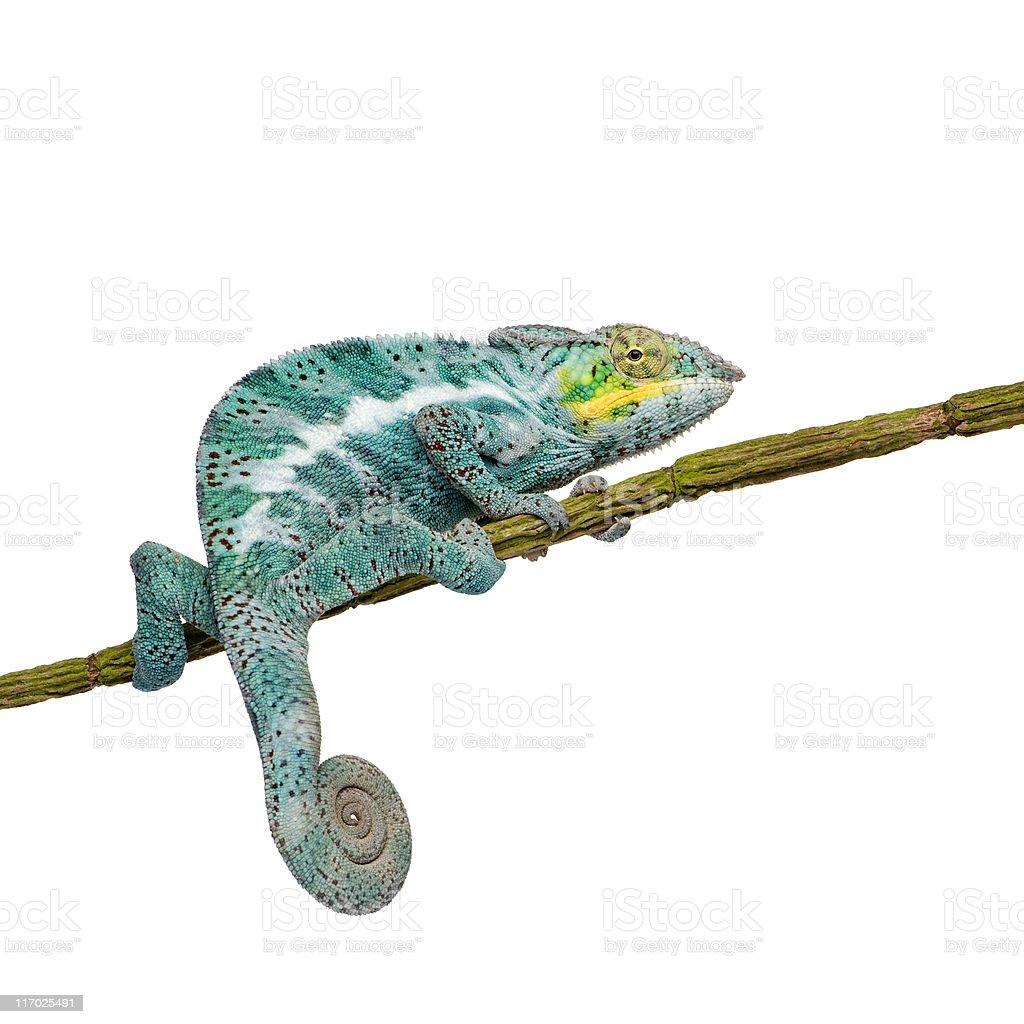 Panther Chameleon Furcifer Pardalis - Nosy Faly (18 months) stock photo