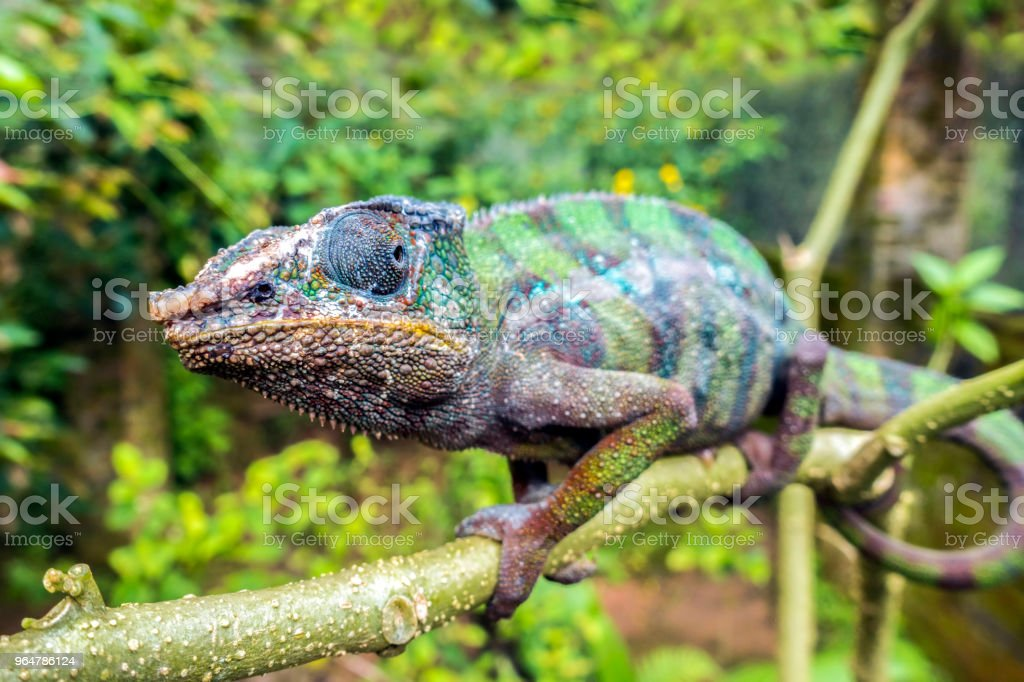 Panther Chameleon (lat. Furcifer pardalis) ,Madagascar royalty-free stock photo