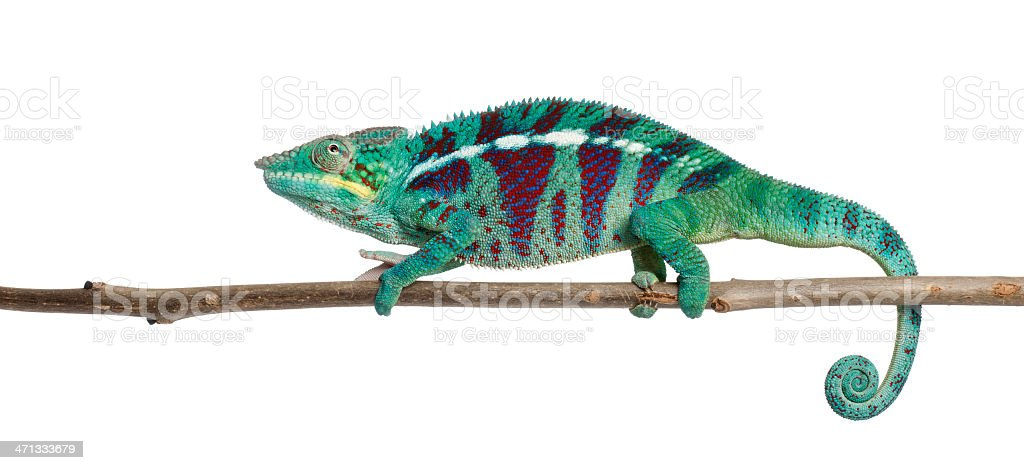 Panther Chameleon Nosy Be, Furcifer pardalis, white background. stock photo
