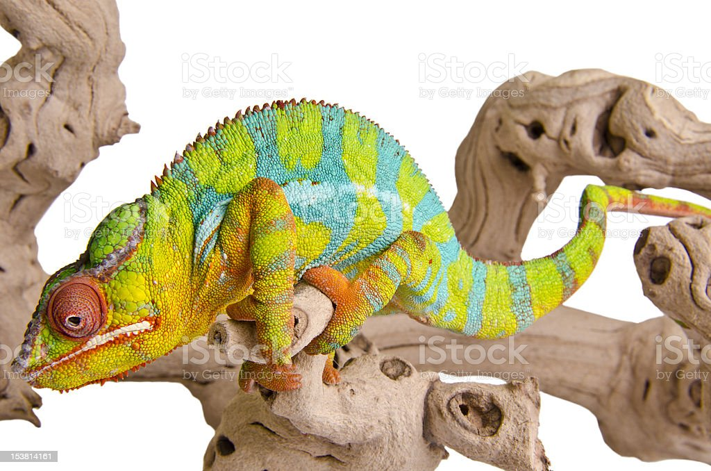 Panther chameleon royalty-free stock photo