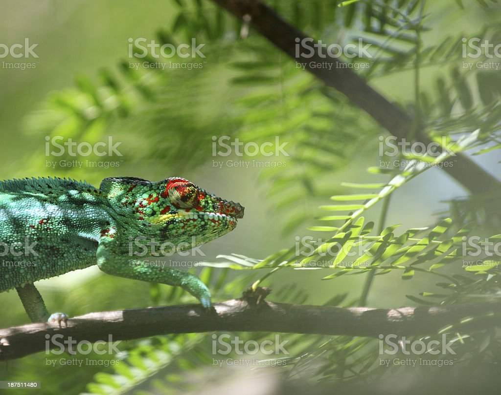 Panther chameleon (Furcifer pardalis) stock photo