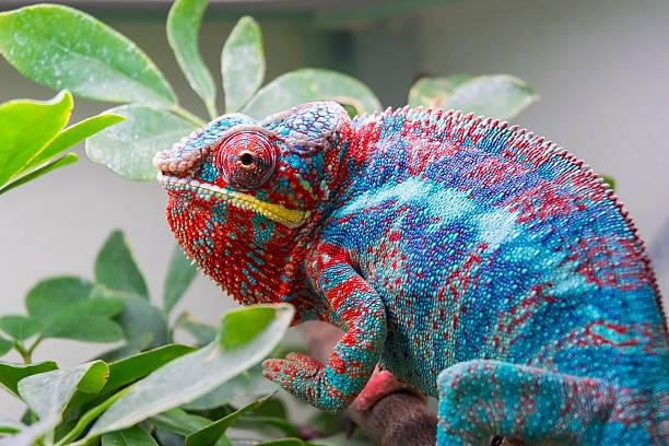 Panther chameleon (Furcifer pardalis) stock photo