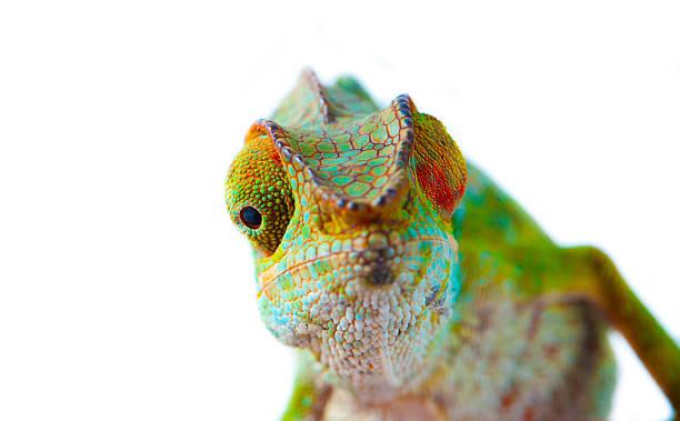 panther chameleon (furcifer pardalis) - kameleon zdjęcia i obrazy z banku zdjęć