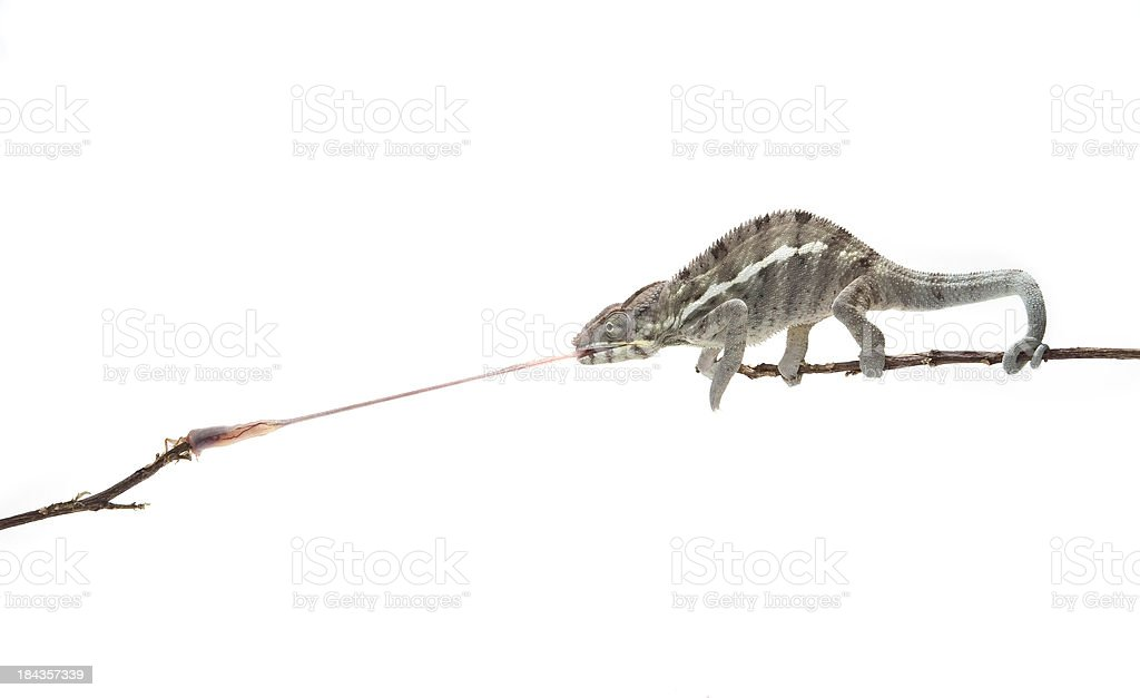 Panther Chameleon, using its tongue to catch an insect stock photo