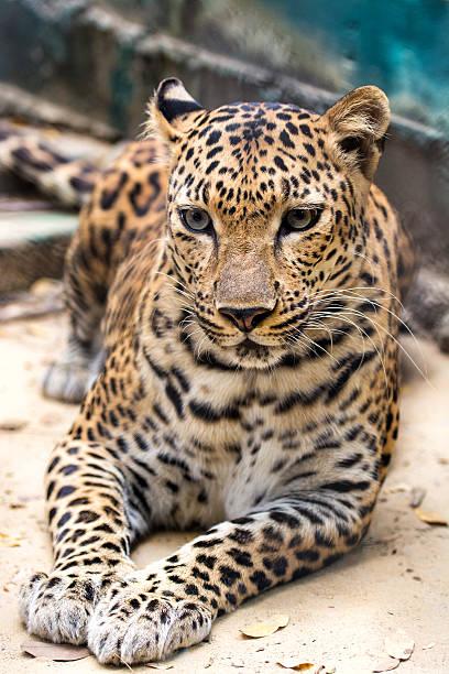 panther-nahaufnahme - schwarzer puma stock-fotos und bilder