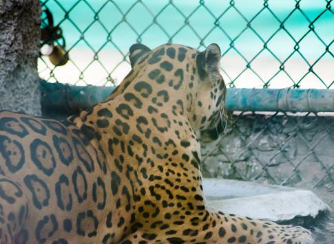 Panther I Zoo-foton och fler bilder på Afrika