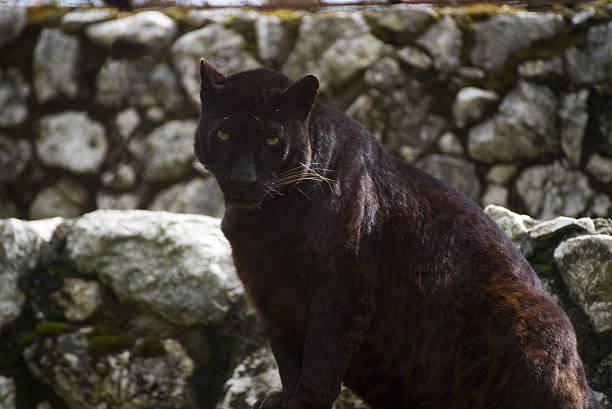 panther  - schwarzer puma stock-fotos und bilder