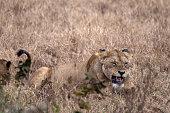 Panthera leo (Lioness) - Ngorongoro Crater, Tanzania