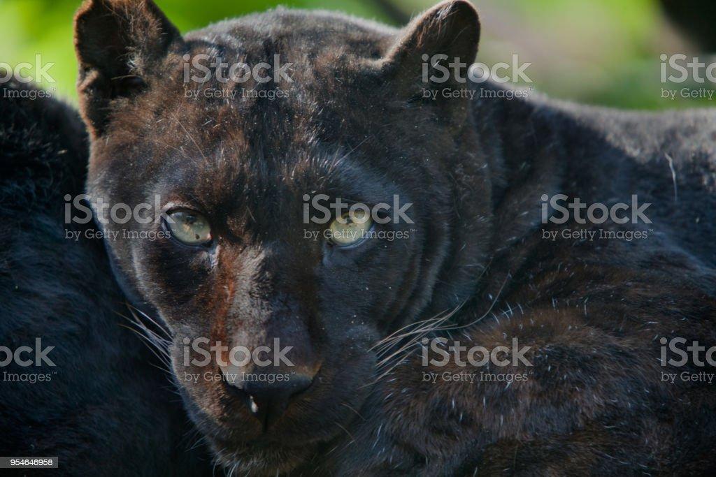 Panthera pardus melas - Leopardo di Giava (melanico) stock photo