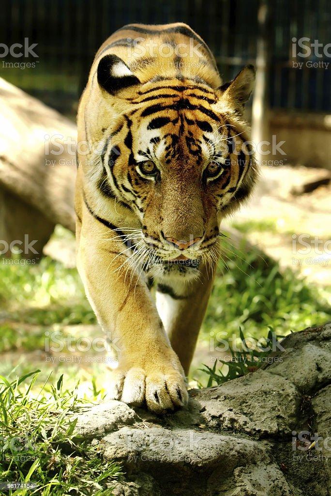 Panthera Tigris royalty-free stock photo