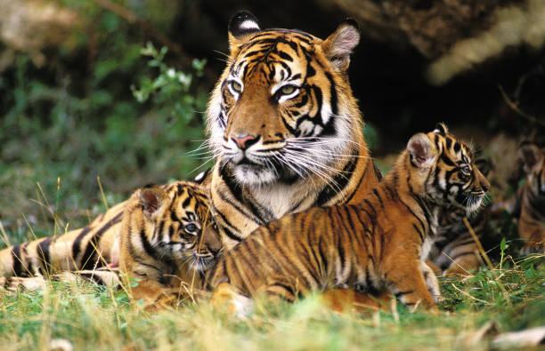 sumatran tiger panthera tigris sumatrae, female with cub laying down on grass - carnívoro imagens e fotografias de stock