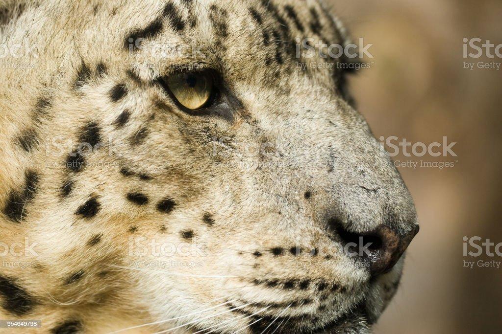 Panthera uncia - Leopardo delle nevi - foto stock