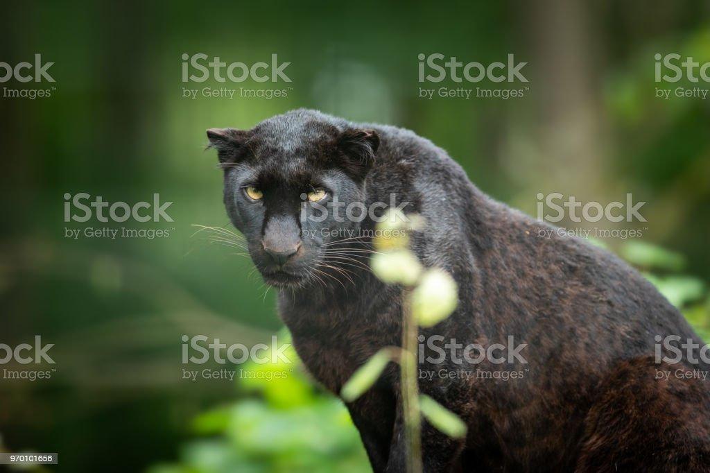 Panthère noir - black panther stock photo