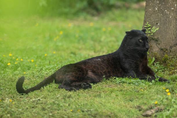 panthère noir - black panther - schwarzer puma stock-fotos und bilder