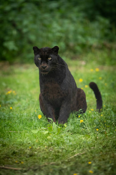 Panthère 黑豹圖像檔