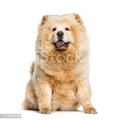 Panting Chow Chow showing its blue tongue, isolated on white