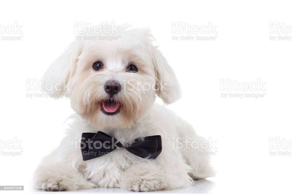panting white bichon puppy wearing bowtie stock photo