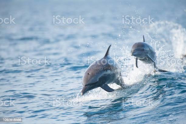 Pantropical spotted dolphin picture id1092818466?b=1&k=6&m=1092818466&s=612x612&h=ypl0dwcxd6azxvqmbe500bvobkiqfvoxejv4sdxrdnw=