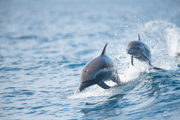 Pantropical Spotted Dolphin Found in the Golfo Dulce in Costa Rica dolphin stock pictures, royalty-free photos & images