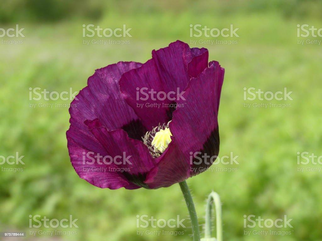 Papaver Somniferum - Purple Poppy, auf seine eigene mit einem grünen Hintergrund bokeh - Lizenzfrei Atelier Stock-Foto
