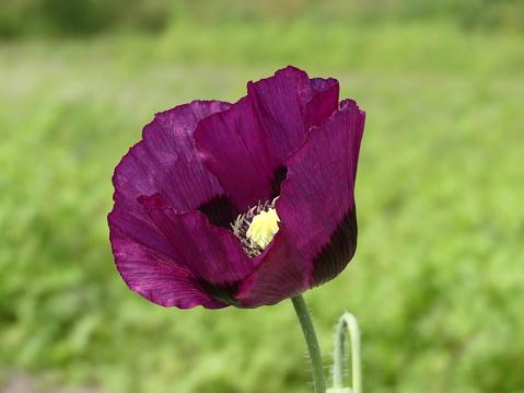 Papaver Somniferum Purple Poppy Auf Seine Eigene Mit Einem Grünen Hintergrund Bokeh Stockfoto und mehr Bilder von Atelier