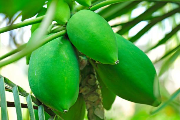 Papaya hanging in a tree – zdjęcie