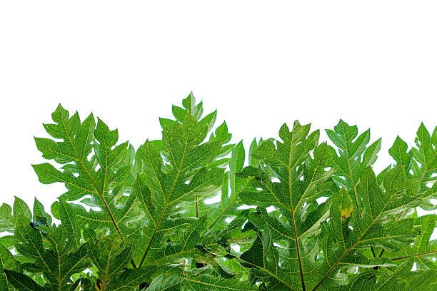 Papaya-Blatt Hintergrund. – Foto