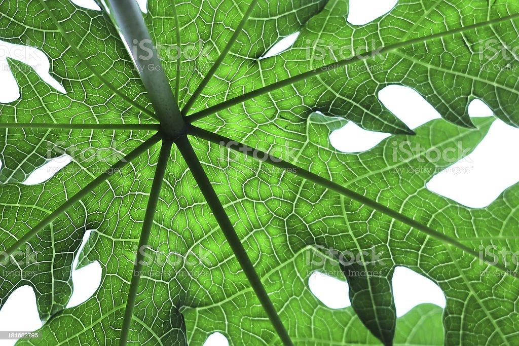 papaya leaf royalty-free stock photo
