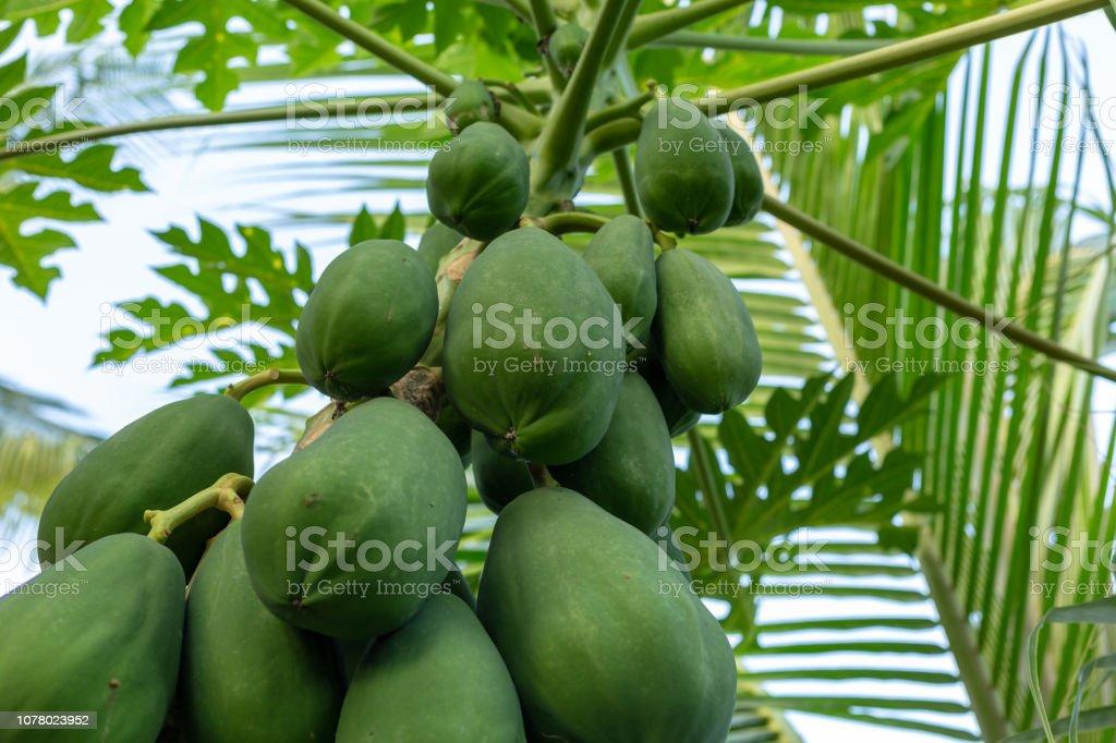 Papaya tree stock photo