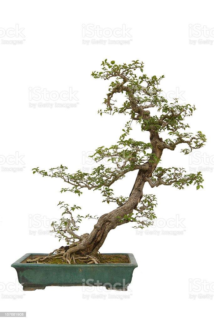 Paper Flower (Bougainvillea glabra) bonsai royalty-free stock photo