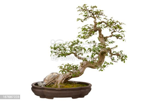 Paper Flower (Bougainvillea glabra) bonsai in a ceramic pot. Isolated on a white background.