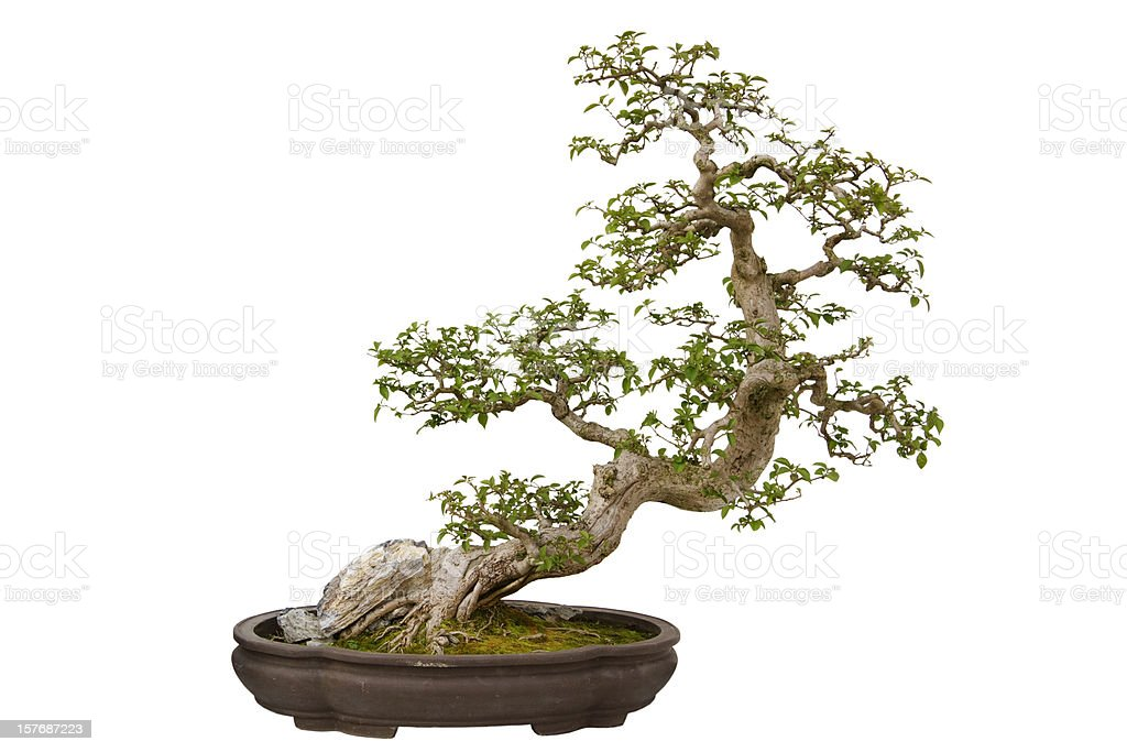 Fleur en papier (Bougainvillier glabra) bonsai - Photo