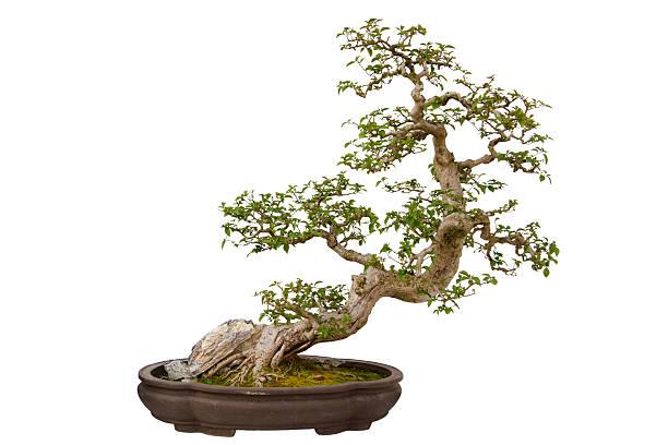 Fleur en papier (Bougainvillier glabra) bonsai - Photo