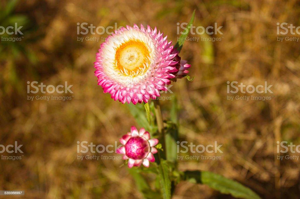 Paper flowers of phu tabberk phetchabun thailand stock photo more paper flowers of phu tabberk phetchabun thailand royalty free stock photo mightylinksfo