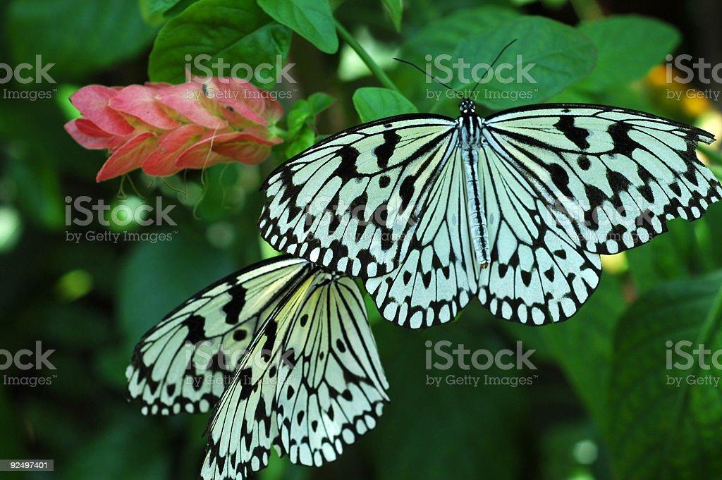 paper kite butterfly, Idea leuconoe royalty-free stock photo