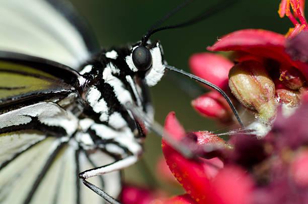 paper kite butterfly  Idea luconoe stock photo