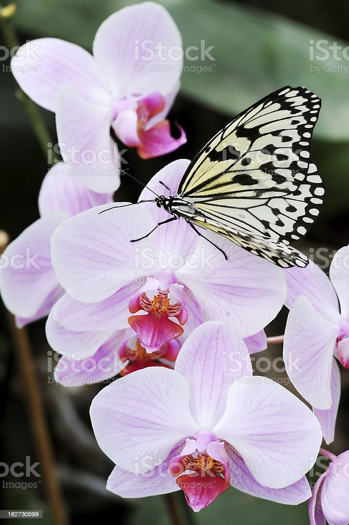 Paper Kite butterfly on orchid flower stock photo