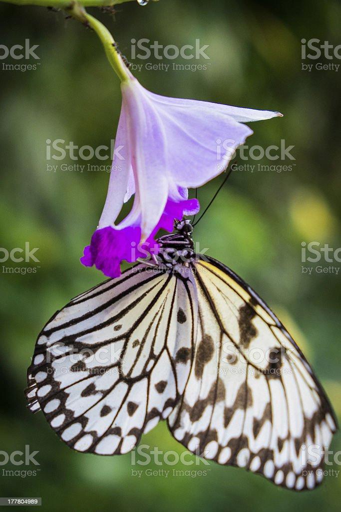 Paper Kite (Idea leuconoe) butterfly. stock photo