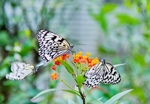 Two beautiful paper kite butterflies on flower