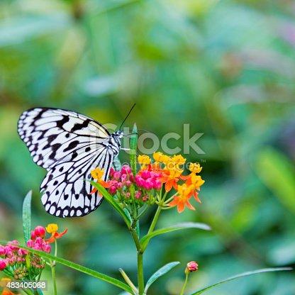 A beautiful paper kite butterfly on flower