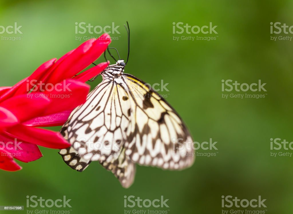Paper Kite or Large Tree Nymph butterfly stock photo