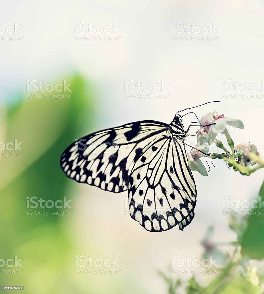 Paper Kite, Rice Paper, or Large Tree Nymph butterfly stock photo