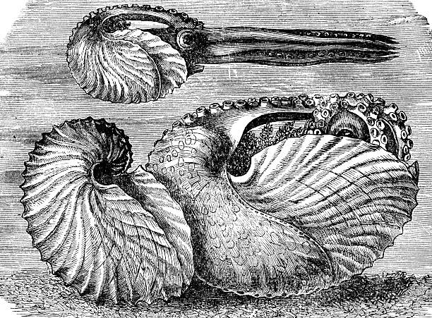 paper nautilus stock photo