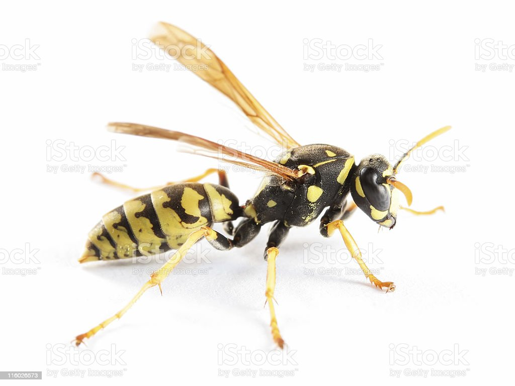 Paper wasp 02 stock photo