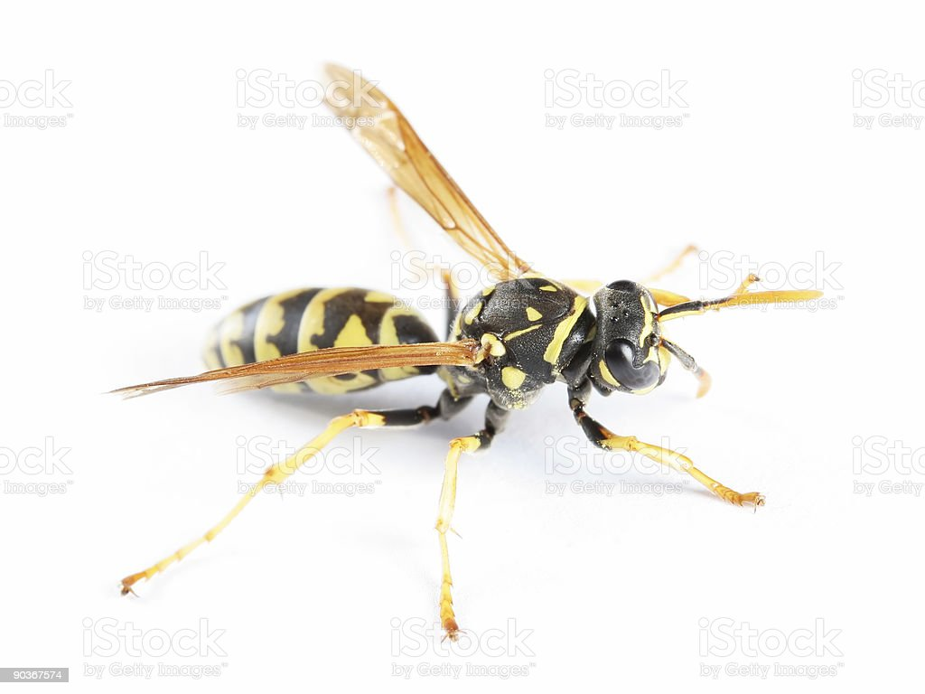 Paper wasp 04 stock photo