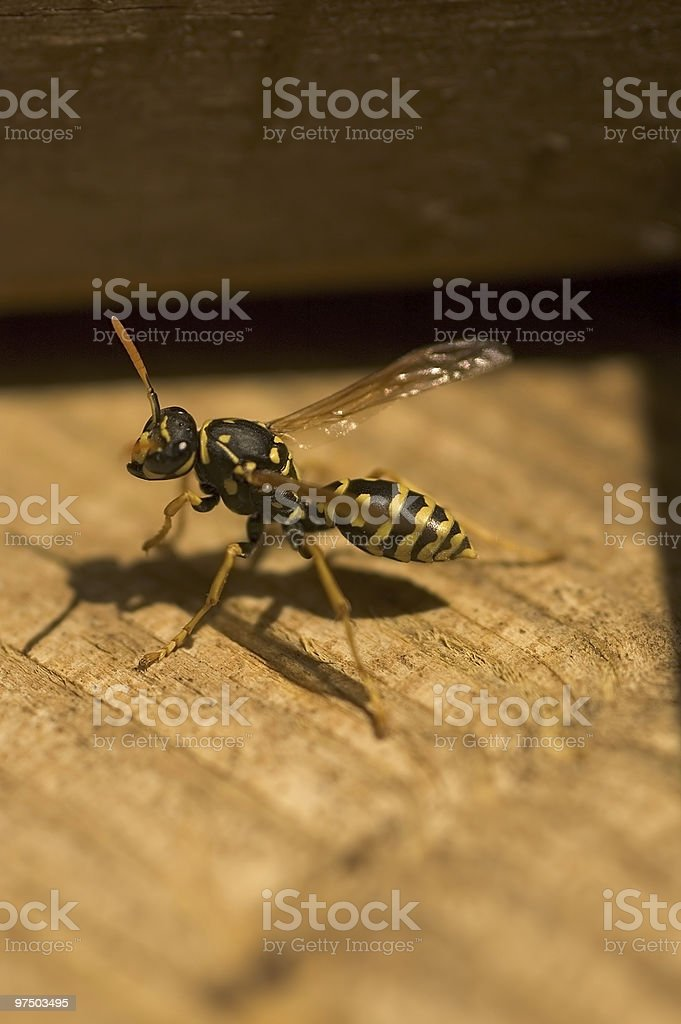 Paper Wasp 2 royalty-free stock photo