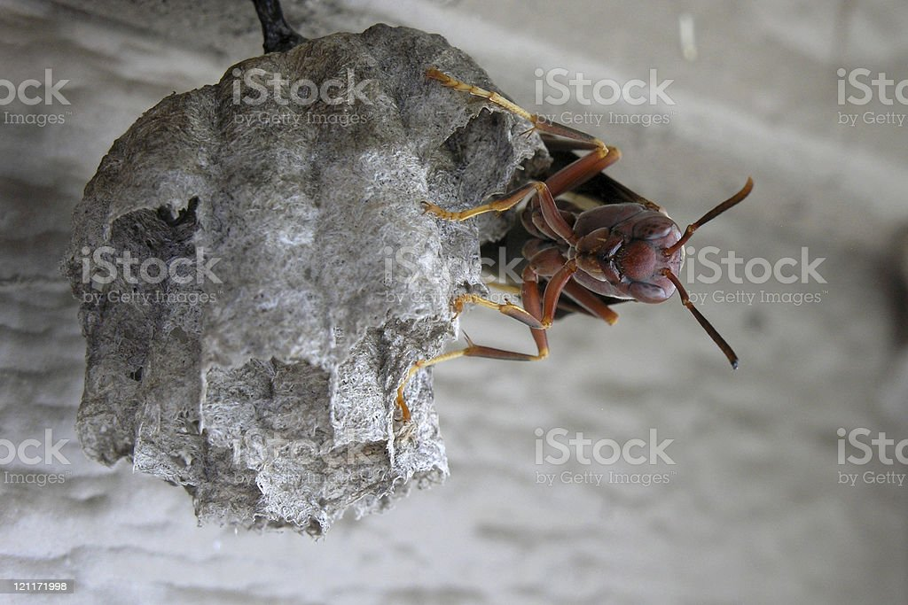 paper wasp guarding its nest royalty-free stock photo