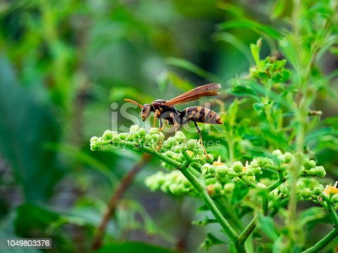 istock paper wasp in hydrangea buds 3 1049803376