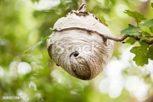 A large Paper Wasp (Bald Faced Hornet) nest in an oak tree.